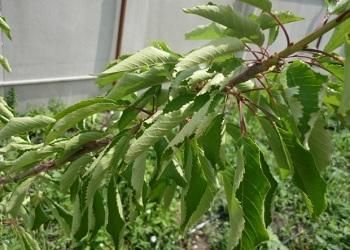 prichiny skruchivaniya listev u chereshni