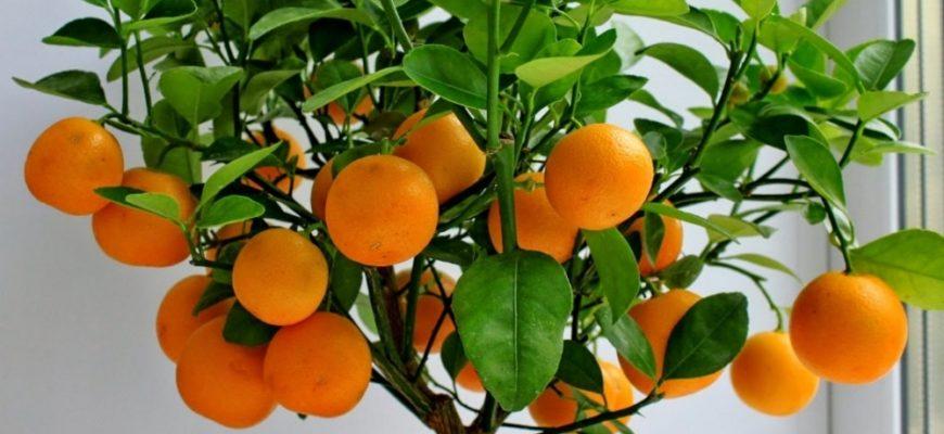 privivanie mandarinovogo dereva