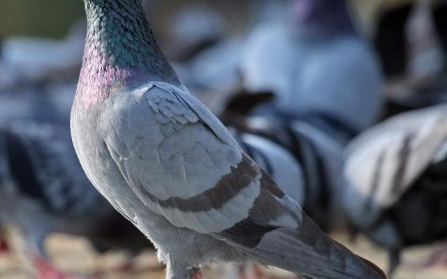 rasprostranennye bolezni golubej kak vylechit pitomcev