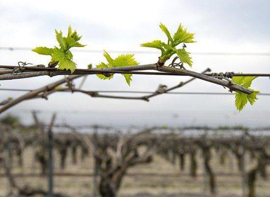 raspuskanie pervyh pochek vinograda pravila raskrytiya rasteniya