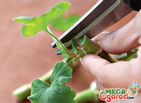 razmnozhenie gerani cherenkami instrukciya dlya nachinajushhih cvetovodov