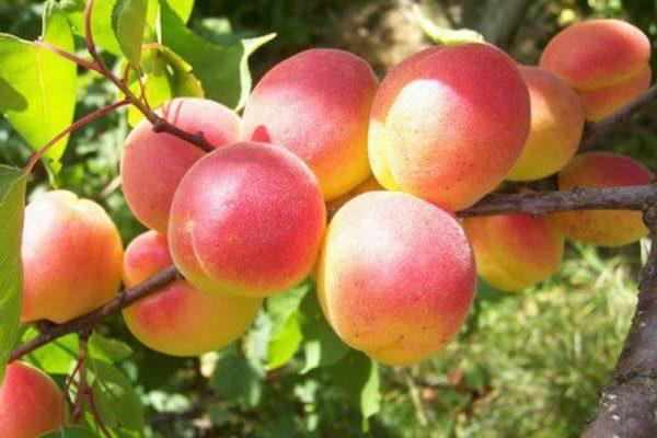 raznovidnosti samoplodnyh abrikosov