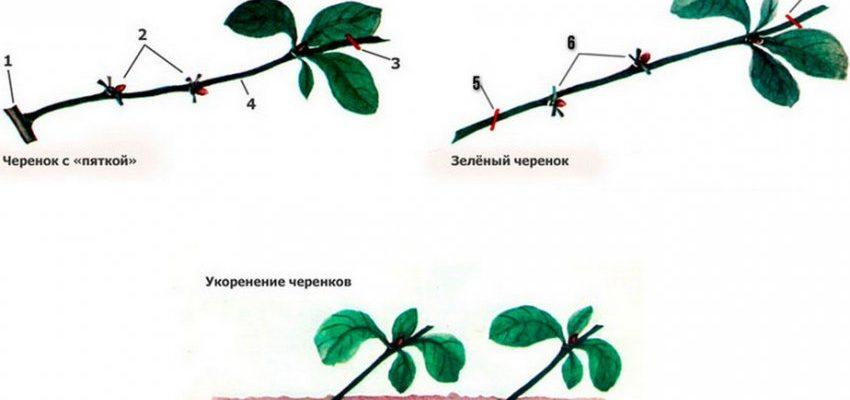 razvedenie yaponskoj ajvy s pomoshhju cherenkov