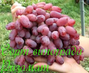 rizamat opisanie posadka i uhod sorta vinograda