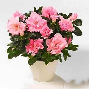 rododendron neobychnoe rastenie v domashnih usloviyah