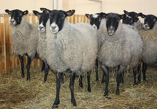 romanovskaya poroda ovec njuansy po soderzhaniju i kormleniju