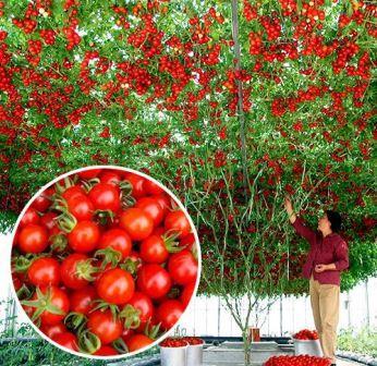 sekrety agrotehniki dlya tomatov sprut