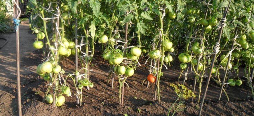 sekrety posadki rassadoj i vyrashhivanie pomidorov v otkrytom grunte