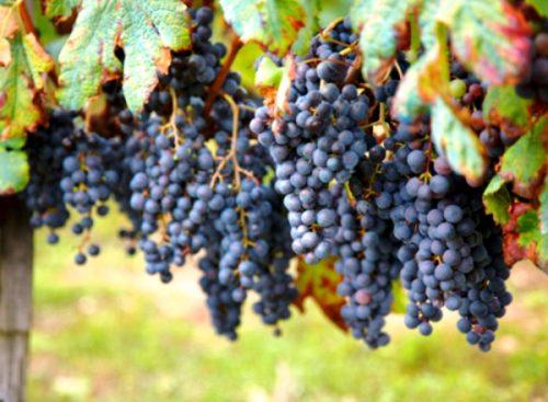 sekrety pravilnogo vyrashhivaniya vinograda suvenir