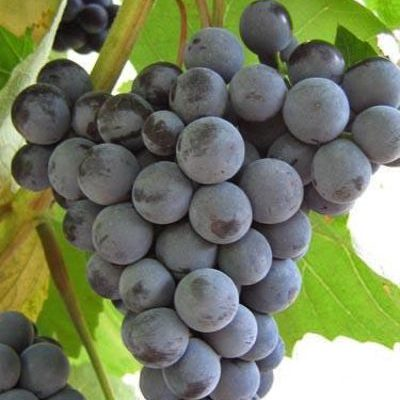 simona vysokourozhajnyj silnoroslyj vkusnyj sort rannego vinograda