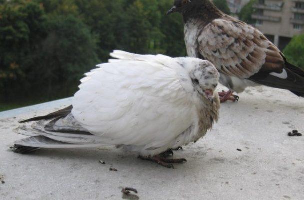 simptomy boleznej kotorym podverzheny golubi