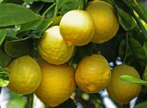 sort limonov jubilejnyj rastim v komnate