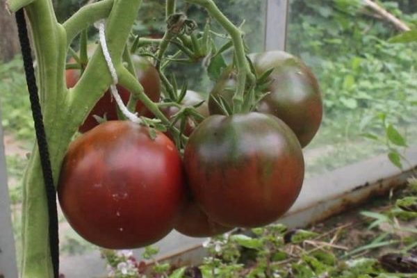 sort tomata chernyj princ harakteristika i opisanie vida