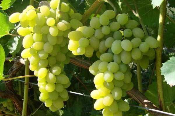 sort vinograda pleven ditya solnca i uma