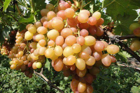 sorta vinograda vishneveckogo kakoj vybrat