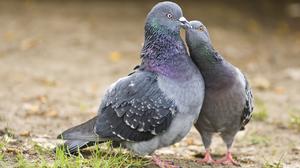 sostoyanie zdorovya pticy svyazano s tem chto edyat vashi golubi
