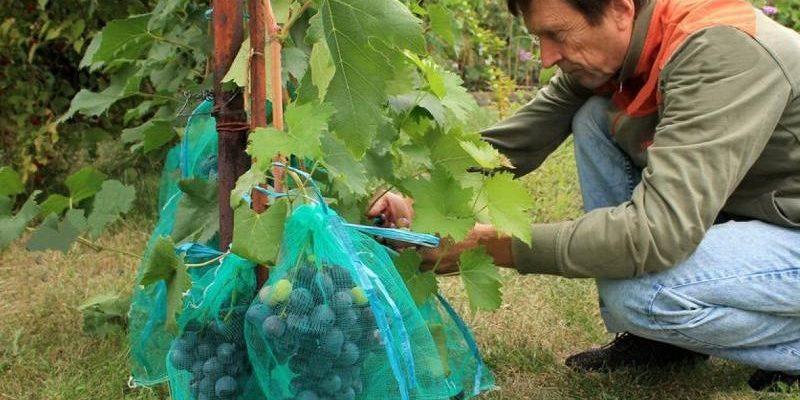 spasenie urozhaya ot os meshochki dlya vinograda
