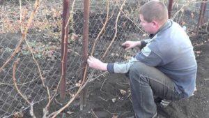 sposoby obespechit rost sazhencev vinograda na vseh etapah