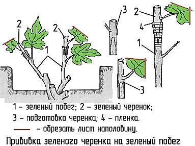 sposoby privivki cherenkov vinograda