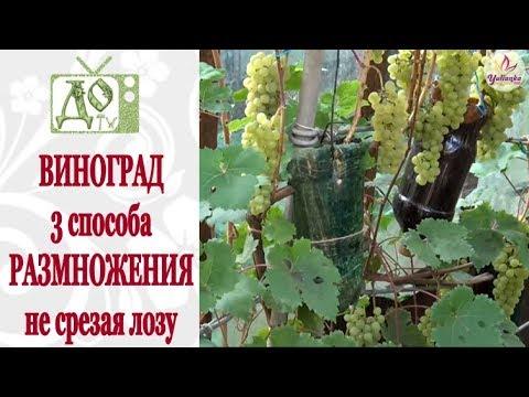 sposoby razmnozheniya vinograda