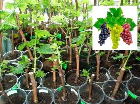 sroki i pravila srezki cherenkov vinograda
