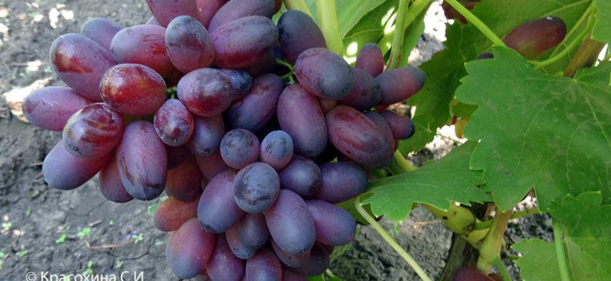 stolovyj sort vinograda karmakod