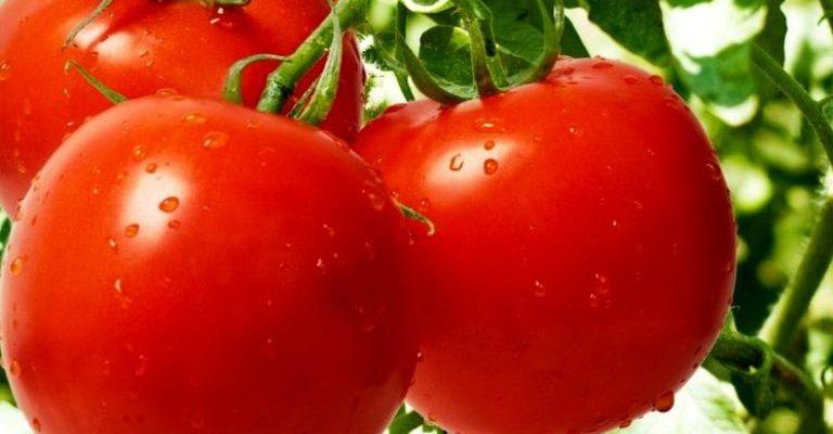 tomat sanka sekrety populyarnosti sorta sredi ogorodnikov