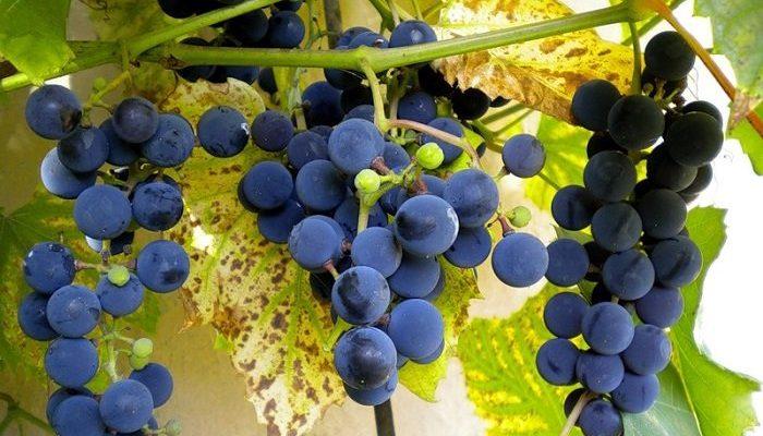 uhod za ijunskim vinogradom