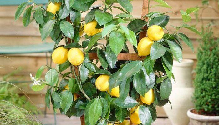 uhod za limonnym derevom v domashnih usloviyah i osobennosti sortov