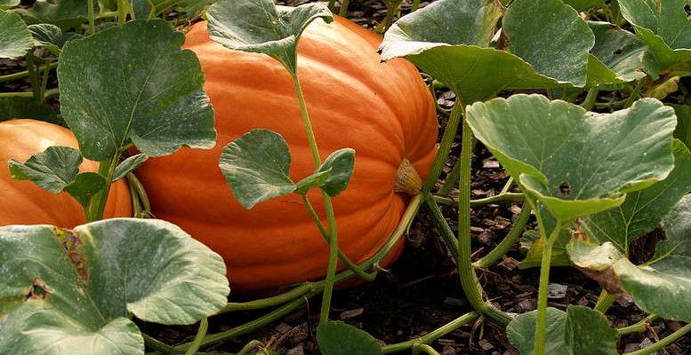uhod za tykvoj kak pravilno zamachivat semena