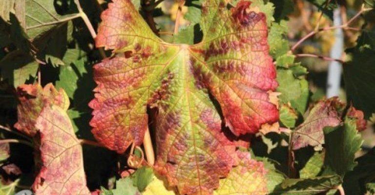uhod za vinogradom ili pochemu u vinograda krasnejut listya