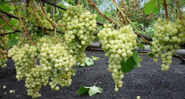 unikalnost vinograda super ekstra sortovye osobennosti i sekrety uhoda