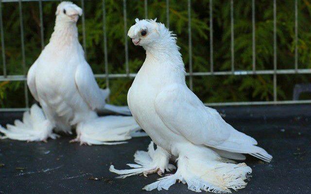 uzbekskie staroporodnye golubi ih raznovidnosti