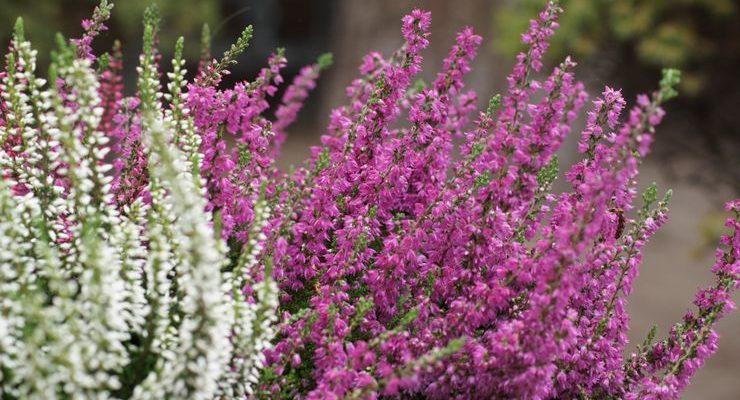 vechnozelenyj veresk posadka i uhod za cvetkom v otkrytom grunte