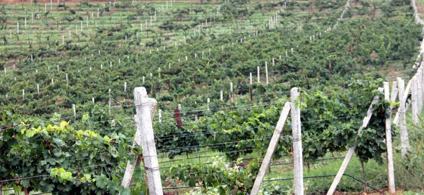 vesennie raboty na vinogradnike i uhod za vinogradnoj lozoj
