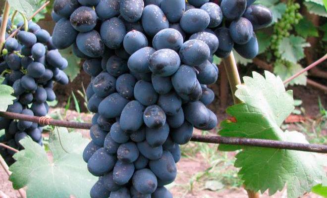 vidy vinograda oboepologo