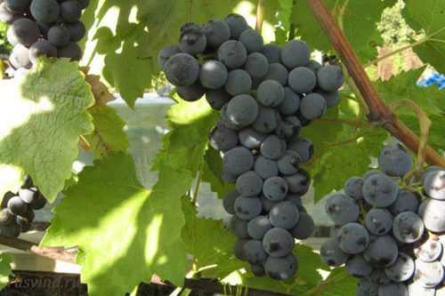 vinnye formy vinograda tana