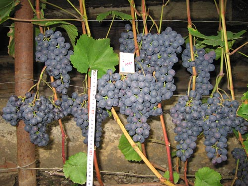 vinograd agat donskoj