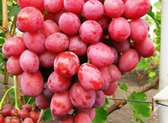 vinograd djuzhina