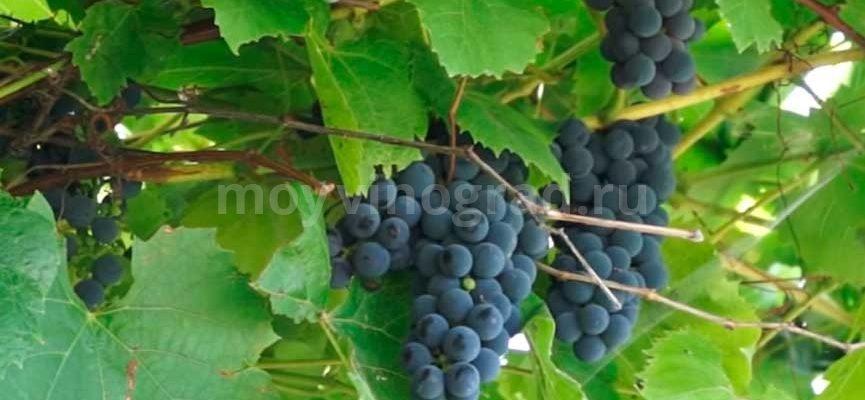 vinograd gibrid alfa