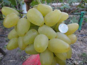 vinograd imeni bazhena
