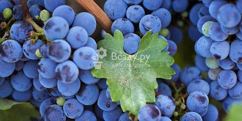 vinograd izabella opisanie sorta i osobennosti ego vyrashhivaniya