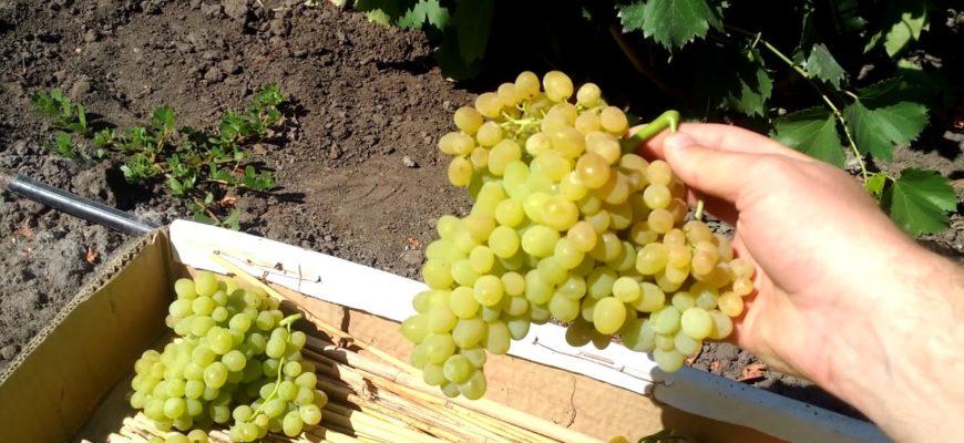 vinograd kishmish 342 osobennosti vyrashhivaniya i uhoda