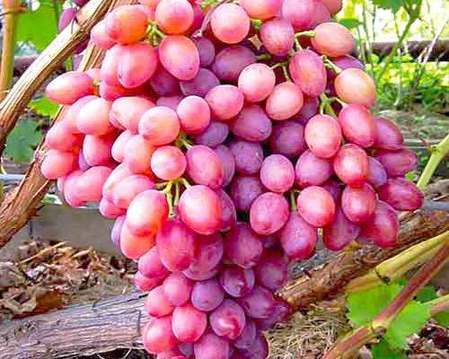 vinograd kishmish luchistyj