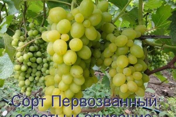vinograd ljubitelskoj selekcii pervozvannyj