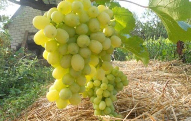 vinograd lora osobennosti posadki i uhoda
