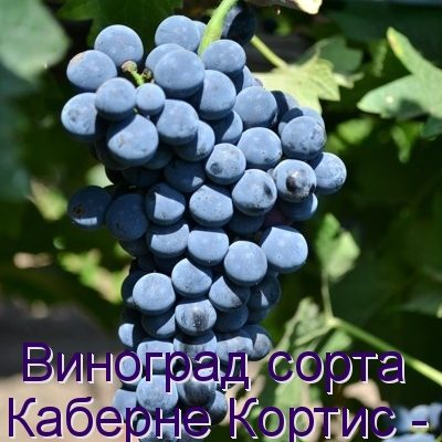 vinograd pod nazvaniem kaberne kortis opisanie