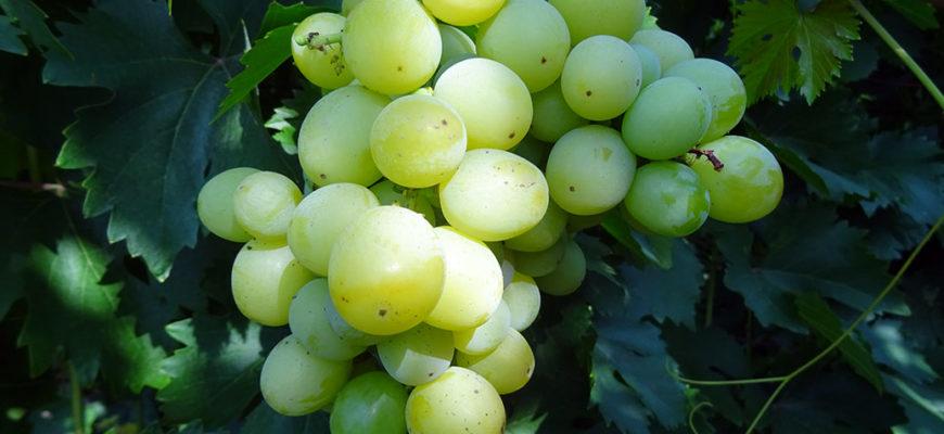 vinograd sorta agrus