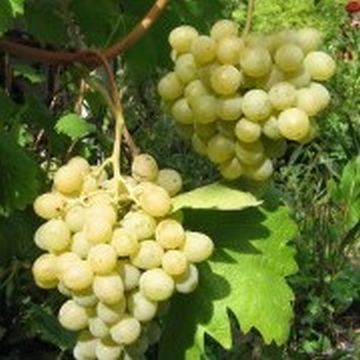 vinograd sorta belaya krasavica frumoasa albe
