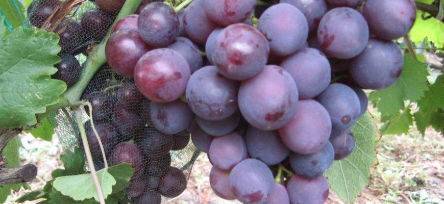 vinograd sorta roshfor